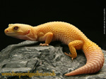 Tremper Patternless Albino Leopard Gecko photo
